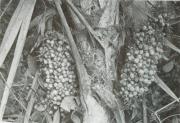 Cryosophila warscewiczii (Cryosophila warscewiczii)