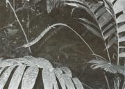 Geonoma cuneata (Geonoma procumbens)