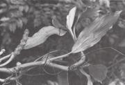 Ludovia integrifolia (Ludovia integrifolia)