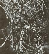 Tillandsia bulbosa (Tillandsia bulbosa)