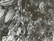 Smilax mollis (Smilax mollis)