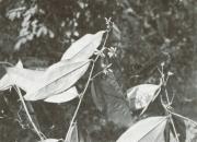Smilax spissa (Smilax spissa)