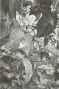 Dioscorea urophylla (Dioscorea urophylla)