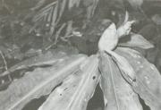 Costus pulverulentus (Costus pulverulentus)