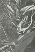 Brassia caudata (Brassia caudata)