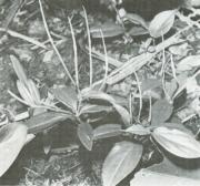 Peperomia obscurifolia (Peperomia obscurifolia)
