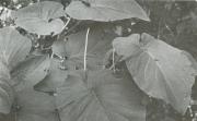 Piper auritum (Piper auritum)