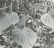 Piper marginatum (Piper marginatum)