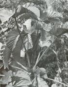 Cecropia insignis (Cecropia insignis)
