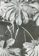 Cecropia obtusifolia (Cecropia obtusifolia)