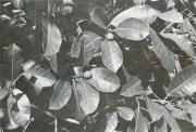 Ficus maxima (Ficus maxima)