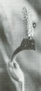 Aristolochia pilosa (Aristolochia pilosa)