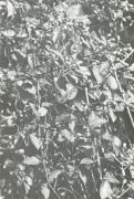 Pisonia aculeata (Pisonia aculeata)