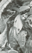 Abuta racemosa (Abuta racemosa)