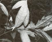 Anaxagorea panamensis (Anaxagorea panamensis)