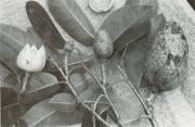 Annona glabra (Annona glabra)