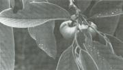 Annona spraguei (Annona spraguei)