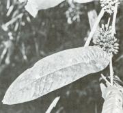 Guatteria amplifolia (Guatteria amplifolia)