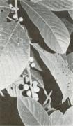 Siparuna pauciflora (Siparuna pauciflora)