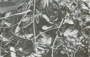 Mimosa casta (Mimosa casta)