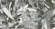 Dalbergia retusa (Dalbergia retusa)