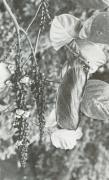 Dioclea wilsonii (Dioclea wilsonii)
