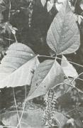 Erythrina costaricensis (Erythrina costaricensis)