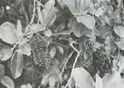 Mucuna mutisiana (Mucuna mutisiana)