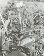 Vigna vexillata (Vigna vexillata)