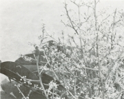 Zanthoxylum panamense (Zanthoxylum panamense)