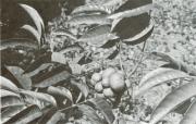 Tetragastris panamensis (Tetragastris panamensis)