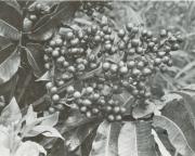 Trattinnickia aspera (Trattinnickia aspera)