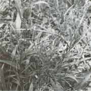 Polygala paniculata (Polygala paniculata)