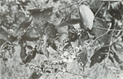 Securidaca diversifolia (Securidaca diversifolia)