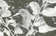 Drypetes standleyi (Drypetes standleyi)