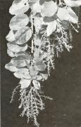 Omphalea diandra (Omphalea diandra)