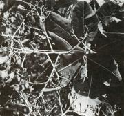 Anacardium excelsum (Anacardium excelsum)