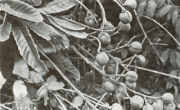 Cupania latifolia (Cupania latifolia)