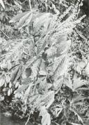 Paullinia fibrigera (Paullinia fibrigera)