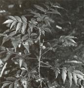 Paullinia glomerulosa (Paullinia glomerulosa)