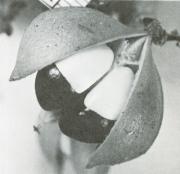 Paullinia turbacensis (Paullinia turbacensis)