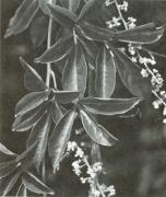 Serjania paucidentata (Serjania paucidentata)