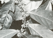 Casearia commersoniana (Casearia commersoniana)