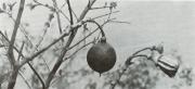 Lafoensia punicifolia (Lafoensia punicifolia)