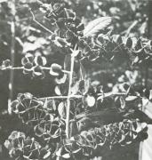 Combretum fruticosum (Combretum fruticosum)