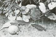 Psidium friedrichsthalianum (Psidium friedrichsthalianum)
