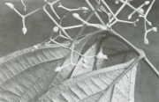 Conostegia cinnamomea (Conostegia cinnamomea)
