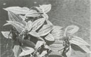 Miconia lacera (Miconia lacera)