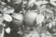 Strychnos panamensis (Strychnos panamensis)