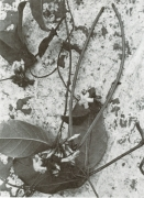 Prestonia portobellensis (Prestonia portobellensis)